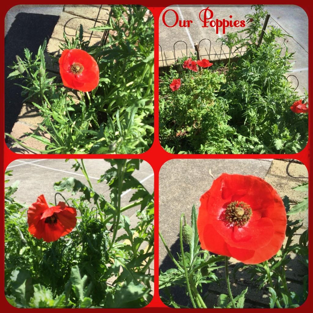 Poppies at CNPS